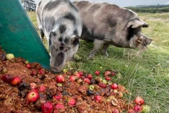 pigs-eating-pomace-and-rotten-apples