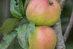 bardsey-apple