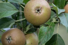egremont-russet-apple