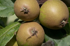 herefordshire-russet-apple