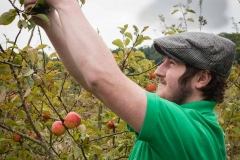 Picking-cider-apples