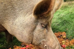 Pig-with-pomace-and-rotten-apples