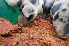 Pigs-eating-pomace
