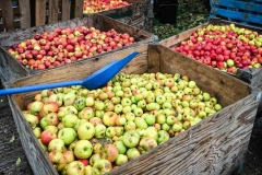 Bins-of-cider-apples-ready-for-pressing