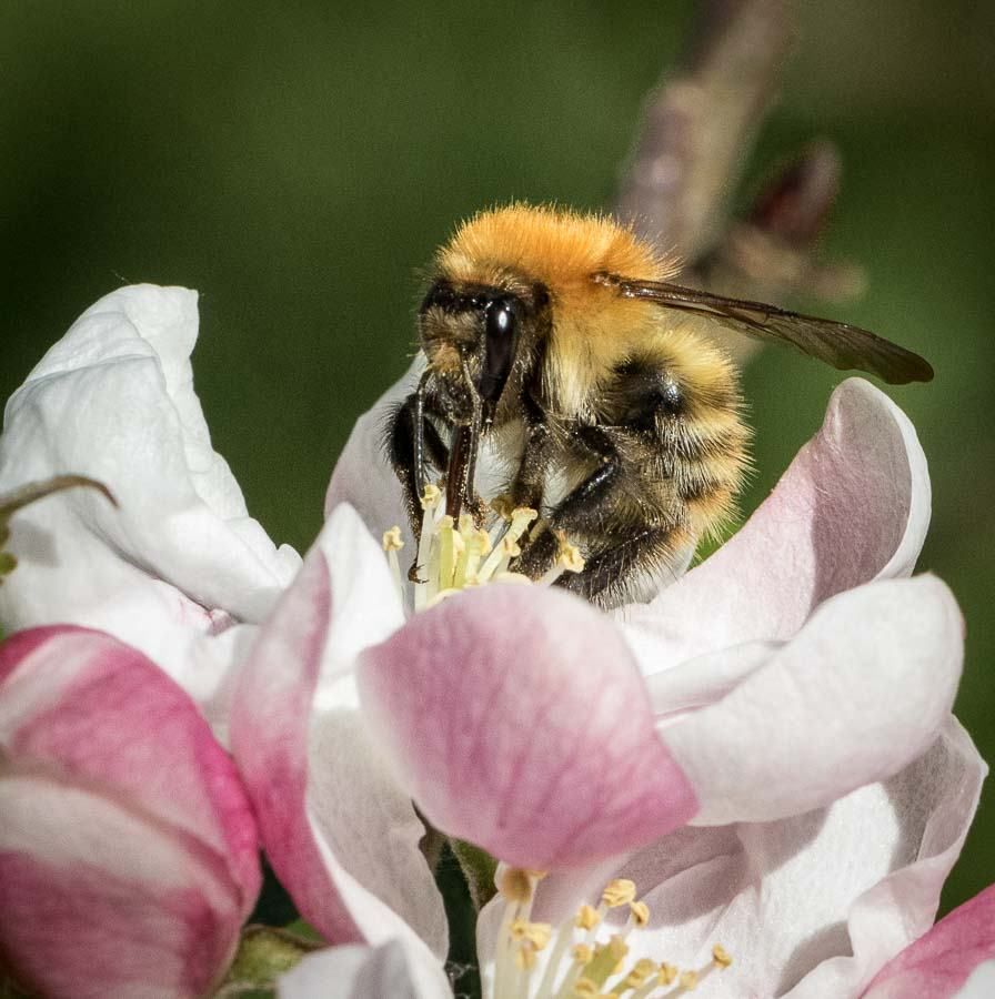 Bumble-bee-on-apple-blossom