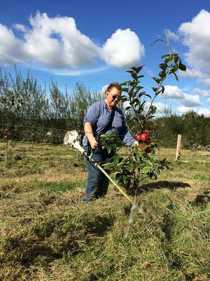 Strimming-in-young-cider-orchard