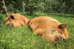 Pigs-asleep-in-cider-orchard
