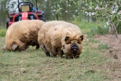 Pigs-in-the-cider-orchard-with-tractor