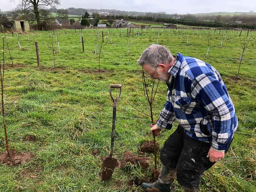 Planting-cider-apple-tree-in-new-orchard