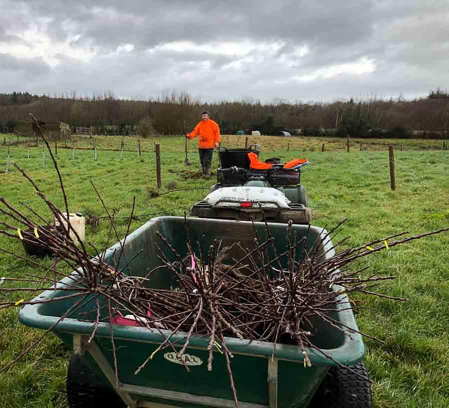 Planting-cider-apple-trees-in-new-orchard