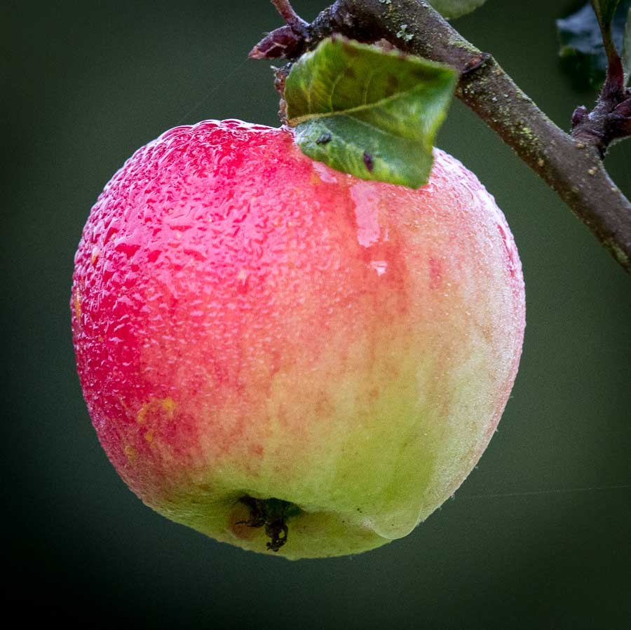 Apple glistening with morning dew