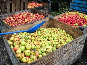 Large wooden bins of ripe apples