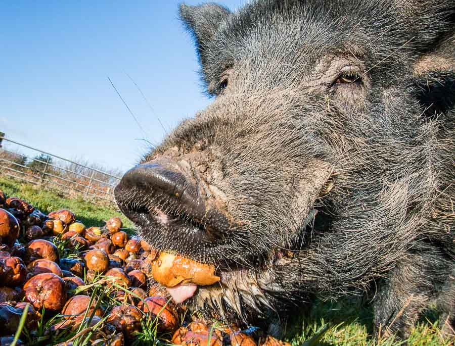 Pigs eating cider apples