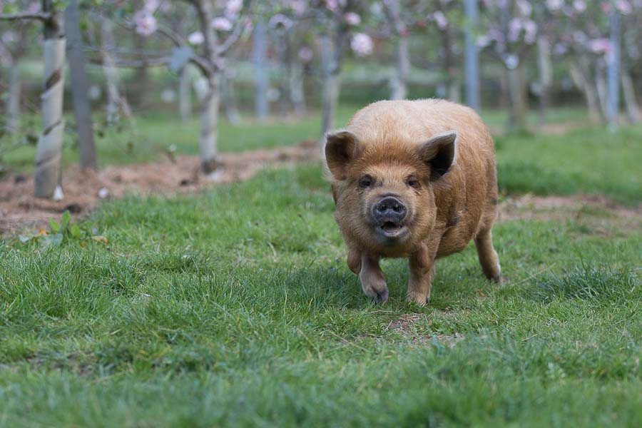 Pig in orchard at Vale Cider