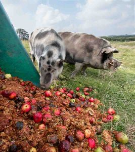 Pig eating apples and pomace