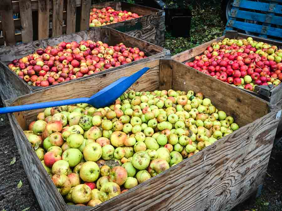 Bins with Ripe Vale Cider Apples