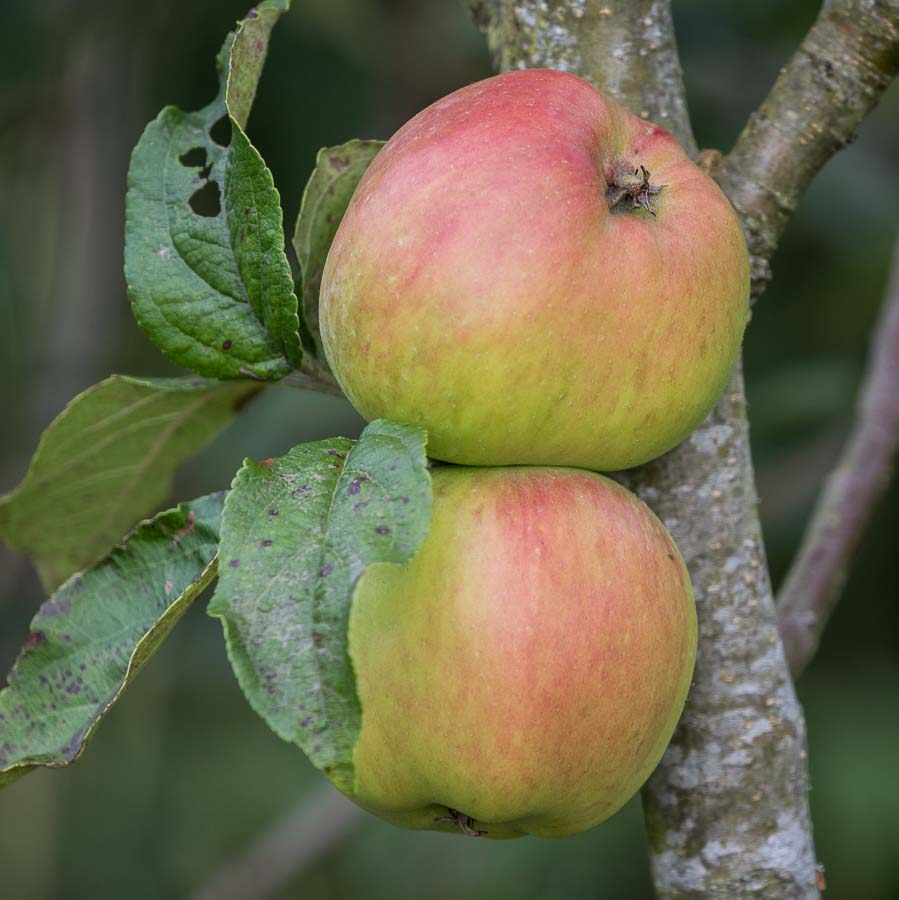 Bardsey apple on tree