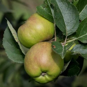 Bramley Apple on tree