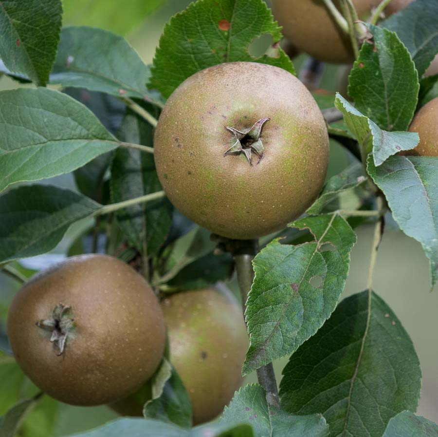 Egremont Russet Apple on tree