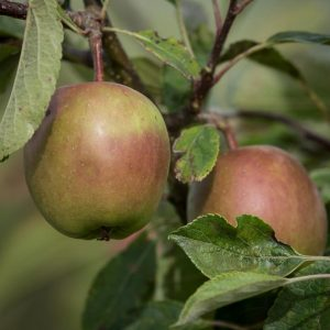 Red Falstaff Apple on tree