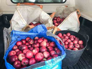 apples in bags in back of truck