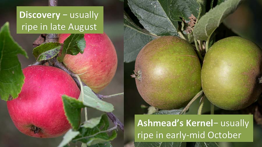 Discovery and Ashmead's Kernel apples