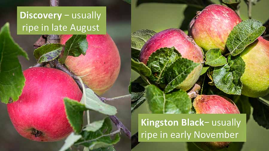 Discovery and Kingston Black apples